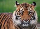 tigero